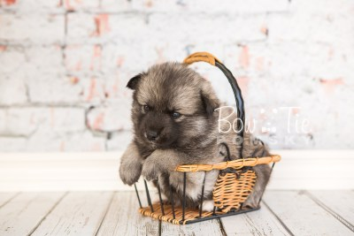 puppy34-week4-bowtiepomsky-com-bowtie-pomsky-puppy-for-sale-husky-pomeranian-mini-dog-spokane-wa-breeder-blue-eyes-pomskies-photo_fb-69