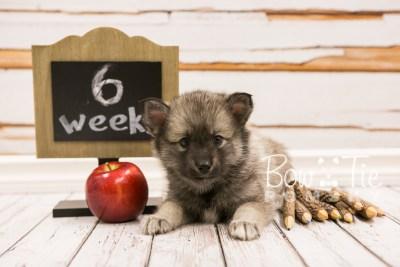 puppy34-week6-bowtiepomsky-com-bowtie-pomsky-puppy-for-sale-husky-pomeranian-mini-dog-spokane-wa-breeder-blue-eyes-pomskies-photo_fb-72