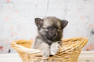puppy34-week6-bowtiepomsky-com-bowtie-pomsky-puppy-for-sale-husky-pomeranian-mini-dog-spokane-wa-breeder-blue-eyes-pomskies-photo_fb-77