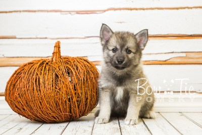 puppy34-week8-bowtiepomsky-com-bowtie-pomsky-puppy-for-sale-husky-pomeranian-mini-dog-spokane-wa-breeder-blue-eyes-pomskies-bowtie_pumsky_fb-1074