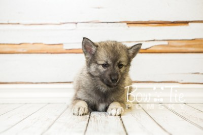 puppy34-week8-bowtiepomsky-com-bowtie-pomsky-puppy-for-sale-husky-pomeranian-mini-dog-spokane-wa-breeder-blue-eyes-pomskies-bowtie_pumsky_fb-1078