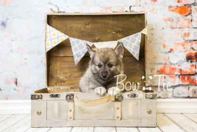 puppy34-week8-bowtiepomsky-com-bowtie-pomsky-puppy-for-sale-husky-pomeranian-mini-dog-spokane-wa-breeder-blue-eyes-pomskies-bowtie_pumsky_fb-1098