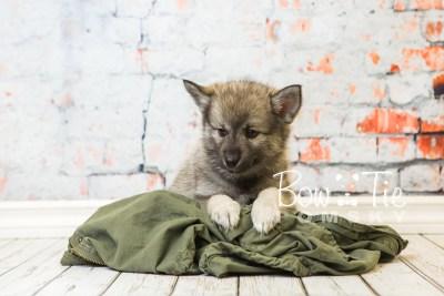 puppy34-week8-bowtiepomsky-com-bowtie-pomsky-puppy-for-sale-husky-pomeranian-mini-dog-spokane-wa-breeder-blue-eyes-pomskies-bowtie_pumsky_fb-1105