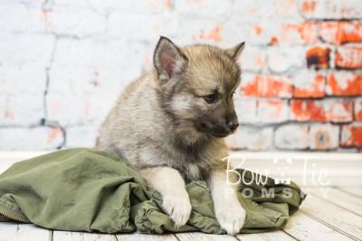 puppy34-week8-bowtiepomsky-com-bowtie-pomsky-puppy-for-sale-husky-pomeranian-mini-dog-spokane-wa-breeder-blue-eyes-pomskies-bowtie_pumsky_fb-1110