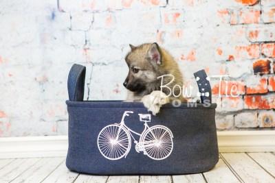 puppy34-week8-bowtiepomsky-com-bowtie-pomsky-puppy-for-sale-husky-pomeranian-mini-dog-spokane-wa-breeder-blue-eyes-pomskies-bowtie_pumsky_fb-1119