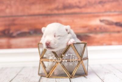 puppy35 week2 BowTiePomsky.com Bowtie Pomsky Puppy For Sale Husky Pomeranian Mini Dog Spokane WA Breeder Blue Eyes Pomskies photo-photo_fb-2