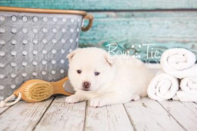 puppy35-week4-bowtiepomsky-com-bowtie-pomsky-puppy-for-sale-husky-pomeranian-mini-dog-spokane-wa-breeder-blue-eyes-pomskies-photo_fb-72