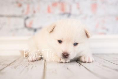 puppy35-week4-bowtiepomsky-com-bowtie-pomsky-puppy-for-sale-husky-pomeranian-mini-dog-spokane-wa-breeder-blue-eyes-pomskies-photo_fb-73