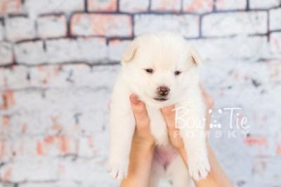 puppy35-week4-bowtiepomsky-com-bowtie-pomsky-puppy-for-sale-husky-pomeranian-mini-dog-spokane-wa-breeder-blue-eyes-pomskies-photo_fb-74