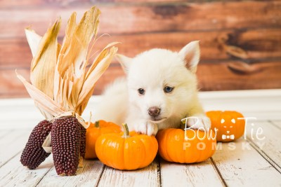 puppy35-week6-bowtiepomsky-com-bowtie-pomsky-puppy-for-sale-husky-pomeranian-mini-dog-spokane-wa-breeder-blue-eyes-pomskies-photo_fb-81