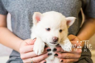 puppy35-week6-bowtiepomsky-com-bowtie-pomsky-puppy-for-sale-husky-pomeranian-mini-dog-spokane-wa-breeder-blue-eyes-pomskies-photo_fb-84