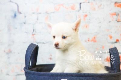 puppy35-week8-bowtiepomsky-com-bowtie-pomsky-puppy-for-sale-husky-pomeranian-mini-dog-spokane-wa-breeder-blue-eyes-pomskies-bowtie_pumsky_fb-1213