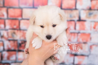 puppy36-week4-bowtiepomsky-com-bowtie-pomsky-puppy-for-sale-husky-pomeranian-mini-dog-spokane-wa-breeder-blue-eyes-pomskies-photo_fb-83