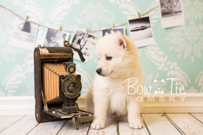 puppy36-week6-bowtiepomsky-com-bowtie-pomsky-puppy-for-sale-husky-pomeranian-mini-dog-spokane-wa-breeder-blue-eyes-pomskies-photo_fb-85