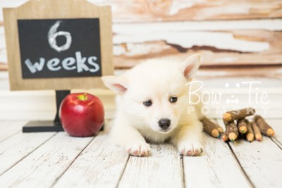 puppy36-week6-bowtiepomsky-com-bowtie-pomsky-puppy-for-sale-husky-pomeranian-mini-dog-spokane-wa-breeder-blue-eyes-pomskies-photo_fb-86