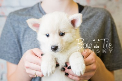 puppy36-week6-bowtiepomsky-com-bowtie-pomsky-puppy-for-sale-husky-pomeranian-mini-dog-spokane-wa-breeder-blue-eyes-pomskies-photo_fb-91