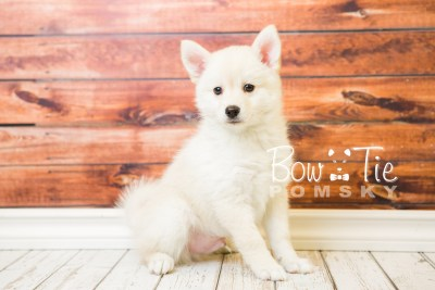 puppy36-week8-bowtiepomsky-com-bowtie-pomsky-puppy-for-sale-husky-pomeranian-mini-dog-spokane-wa-breeder-blue-eyes-pomskies-bowtie_pumsky_fb-1232