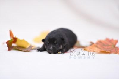 puppy5 BowTiePomsky.com Bowtie Pomsky Puppy For Sale Husky Pomeranian Mini Dog Spokane WA Breeder Blue Eyes Pomskies photo11