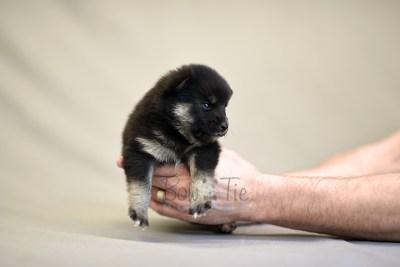 puppy5 BowTiePomsky.com Bowtie Pomsky Puppy For Sale Husky Pomeranian Mini Dog Spokane WA Breeder Blue Eyes Pomskies photo13