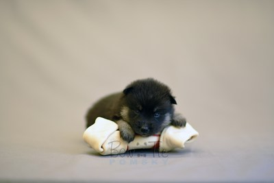 puppy5 BowTiePomsky.com Bowtie Pomsky Puppy For Sale Husky Pomeranian Mini Dog Spokane WA Breeder Blue Eyes Pomskies photo18