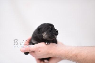 puppy5 BowTiePomsky.com Bowtie Pomsky Puppy For Sale Husky Pomeranian Mini Dog Spokane WA Breeder Blue Eyes Pomskies photo2
