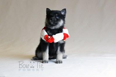 puppy5 BowTiePomsky.com Bowtie Pomsky Puppy For Sale Husky Pomeranian Mini Dog Spokane WA Breeder Blue Eyes Pomskies photo31