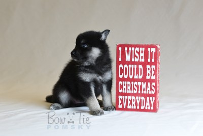puppy5 BowTiePomsky.com Bowtie Pomsky Puppy For Sale Husky Pomeranian Mini Dog Spokane WA Breeder Blue Eyes Pomskies photo42