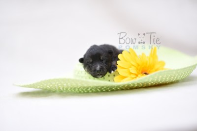 puppy5 BowTiePomsky.com Bowtie Pomsky Puppy For Sale Husky Pomeranian Mini Dog Spokane WA Breeder Blue Eyes Pomskies photo8