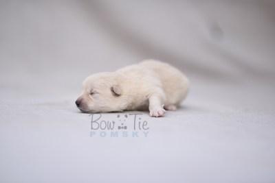 puppy6 BowTiePomsky.com Bowtie Pomsky Puppy For Sale Husky Pomeranian Mini Dog Spokane WA Breeder Blue Eyes Pomskies photo1