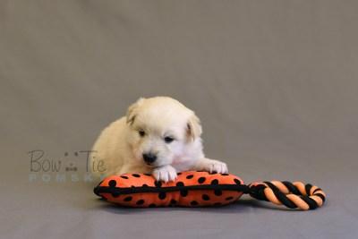 puppy6 BowTiePomsky.com Bowtie Pomsky Puppy For Sale Husky Pomeranian Mini Dog Spokane WA Breeder Blue Eyes Pomskies photo14