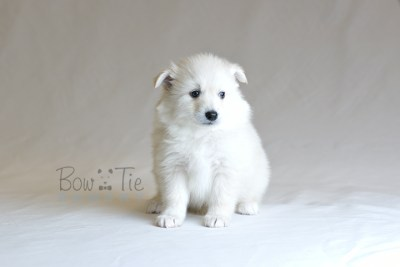 puppy6 BowTiePomsky.com Bowtie Pomsky Puppy For Sale Husky Pomeranian Mini Dog Spokane WA Breeder Blue Eyes Pomskies photo28