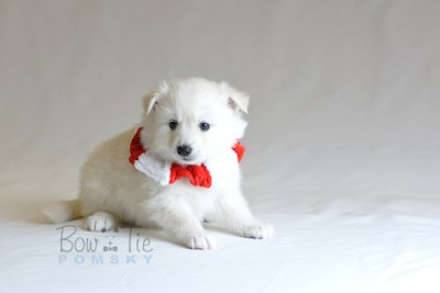 puppy6 BowTiePomsky.com Bowtie Pomsky Puppy For Sale Husky Pomeranian Mini Dog Spokane WA Breeder Blue Eyes Pomskies photo33