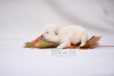 puppy6 BowTiePomsky.com Bowtie Pomsky Puppy For Sale Husky Pomeranian Mini Dog Spokane WA Breeder Blue Eyes Pomskies photo4