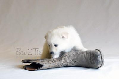 puppy6 BowTiePomsky.com Bowtie Pomsky Puppy For Sale Husky Pomeranian Mini Dog Spokane WA Breeder Blue Eyes Pomskies photo49