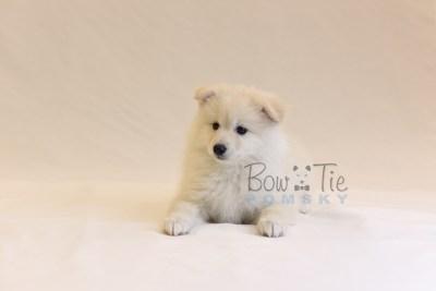 puppy6 BowTiePomsky.com Bowtie Pomsky Puppy For Sale Husky Pomeranian Mini Dog Spokane WA Breeder Blue Eyes Pomskies photo58