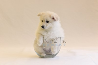 puppy6 BowTiePomsky.com Bowtie Pomsky Puppy For Sale Husky Pomeranian Mini Dog Spokane WA Breeder Blue Eyes Pomskies photo73