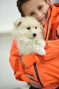 puppy6 BowTiePomsky.com Bowtie Pomsky Puppy For Sale Husky Pomeranian Mini Dog Spokane WA Breeder Blue Eyes Pomskies photo76