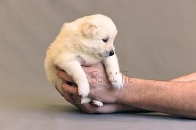 puppy6 BowTiePomsky.com Bowtie Pomsky Puppy For Sale Husky Pomeranian Mini Dog Spokane WA Breeder Blue Eyes Pomskies photo9