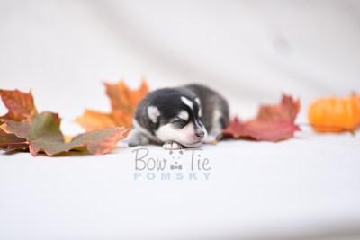 puppy7 BowTiePomsky.com Bowtie Pomsky Puppy For Sale Husky Pomeranian Mini Dog Spokane WA Breeder Blue Eyes Pomskies photo10