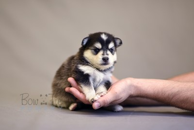 puppy7 BowTiePomsky.com Bowtie Pomsky Puppy For Sale Husky Pomeranian Mini Dog Spokane WA Breeder Blue Eyes Pomskies photo12