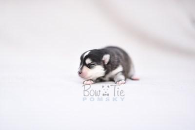 puppy7 BowTiePomsky.com Bowtie Pomsky Puppy For Sale Husky Pomeranian Mini Dog Spokane WA Breeder Blue Eyes Pomskies photo2