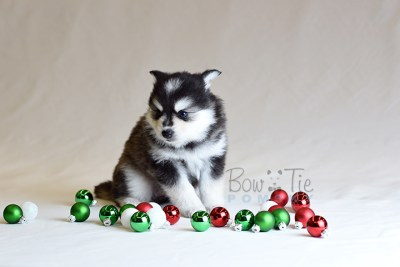 puppy7 BowTiePomsky.com Bowtie Pomsky Puppy For Sale Husky Pomeranian Mini Dog Spokane WA Breeder Blue Eyes Pomskies photo28