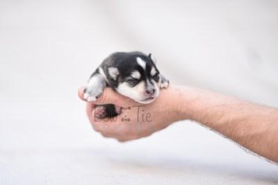 puppy7 BowTiePomsky.com Bowtie Pomsky Puppy For Sale Husky Pomeranian Mini Dog Spokane WA Breeder Blue Eyes Pomskies photo4