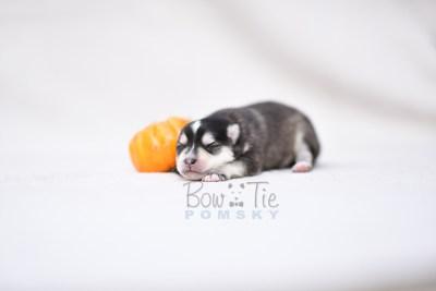 puppy7 BowTiePomsky.com Bowtie Pomsky Puppy For Sale Husky Pomeranian Mini Dog Spokane WA Breeder Blue Eyes Pomskies photo6
