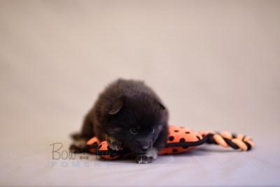 puppy8 BowTiePomsky.com Bowtie Pomsky Puppy For Sale Husky Pomeranian Mini Dog Spokane WA Breeder Blue Eyes Pomskies photo19