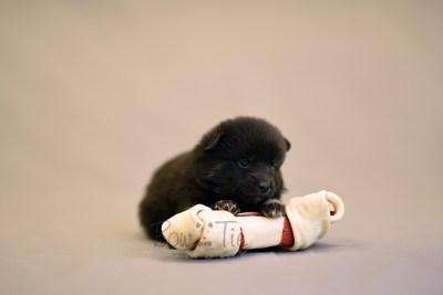 puppy8 BowTiePomsky.com Bowtie Pomsky Puppy For Sale Husky Pomeranian Mini Dog Spokane WA Breeder Blue Eyes Pomskies photo21