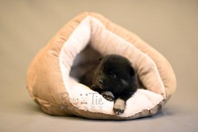 puppy8 BowTiePomsky.com Bowtie Pomsky Puppy For Sale Husky Pomeranian Mini Dog Spokane WA Breeder Blue Eyes Pomskies photo22