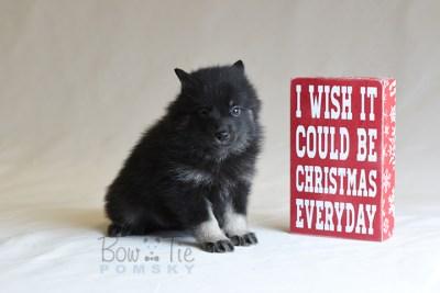 puppy8 BowTiePomsky.com Bowtie Pomsky Puppy For Sale Husky Pomeranian Mini Dog Spokane WA Breeder Blue Eyes Pomskies photo35