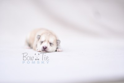 puppy9 BowTiePomsky.com Bowtie Pomsky Puppy For Sale Husky Pomeranian Mini Dog Spokane WA Breeder Blue Eyes Pomskies photo1