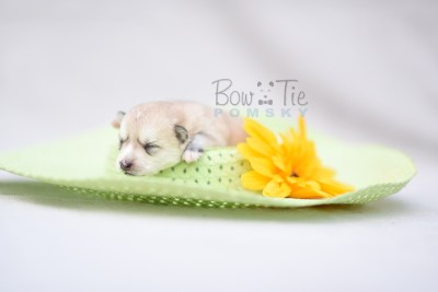 puppy9 BowTiePomsky.com Bowtie Pomsky Puppy For Sale Husky Pomeranian Mini Dog Spokane WA Breeder Blue Eyes Pomskies photo10